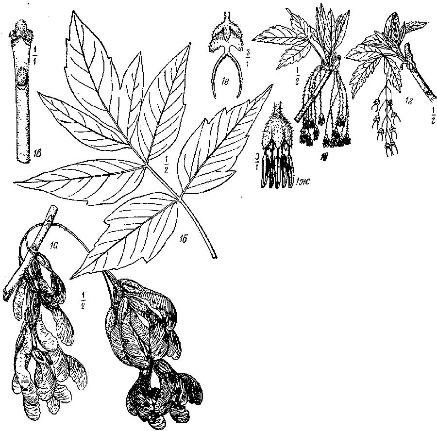 Acer_cissifolium_2a.png