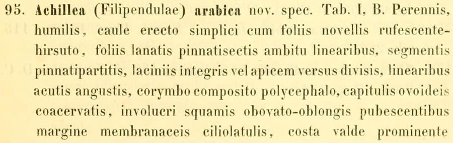 Achillea_arabica_1a.jpg