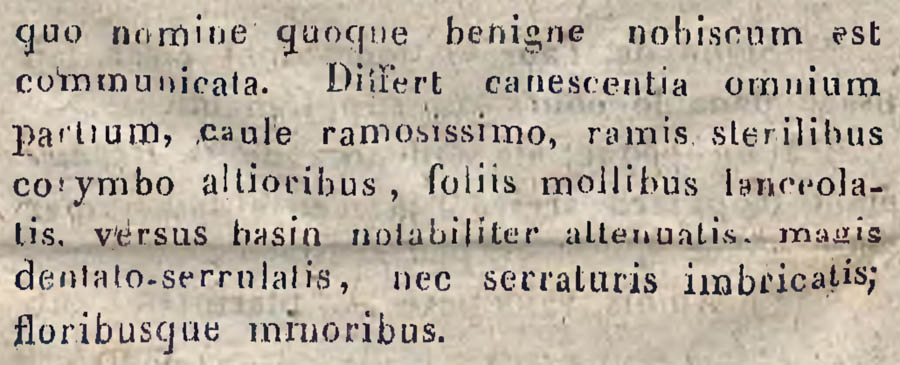 Achillea_salicifolia_3.jpg