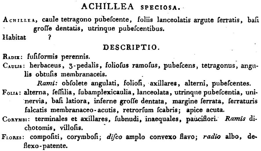 Achillea_speciosa_1a.png