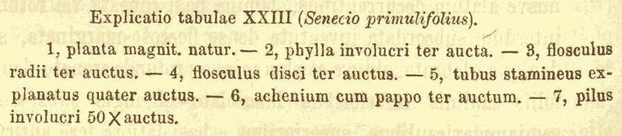 Senecio_primulifolius_4a.png