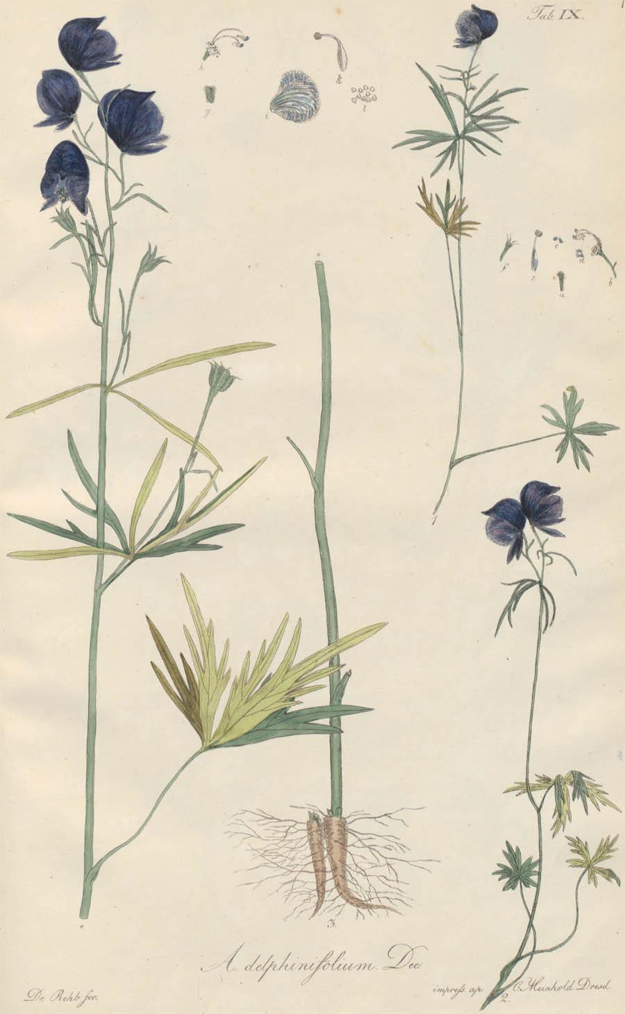 Aconitum_delphinifolium_4a.jpg