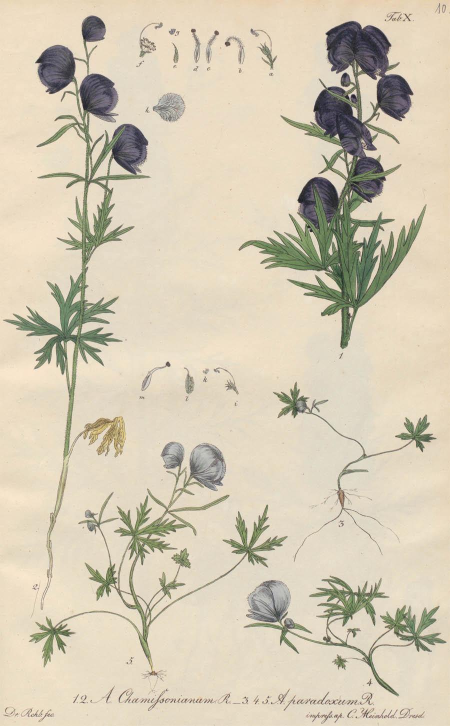 Aconitum_chamissonianum_5a.jpg