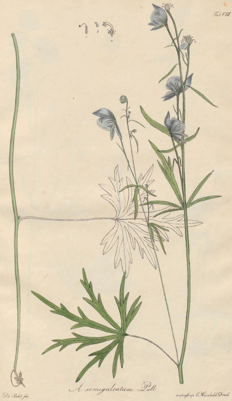 Aconitum_semigaleatum_4a.jpg