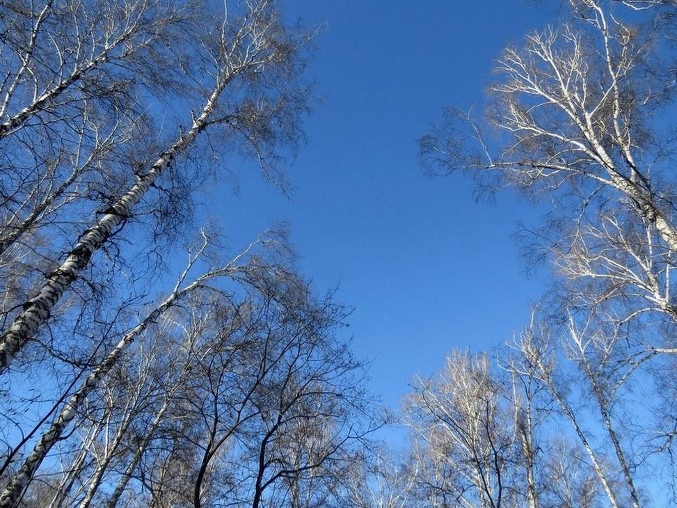 Березы-февраль-3.jpg