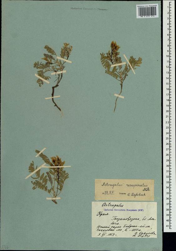 Astragalus resupinatus.jpg