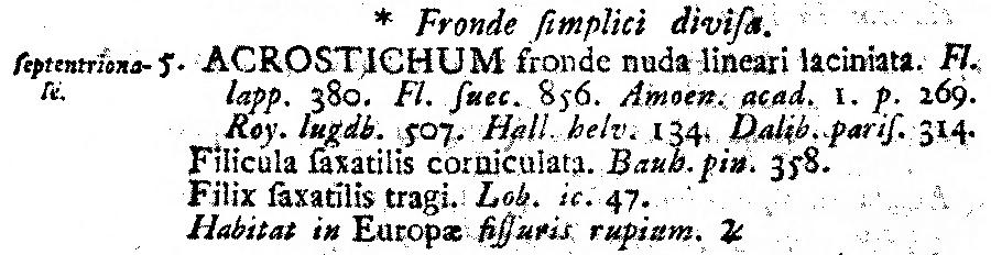 Acrostichum_septentrionale_1a.png