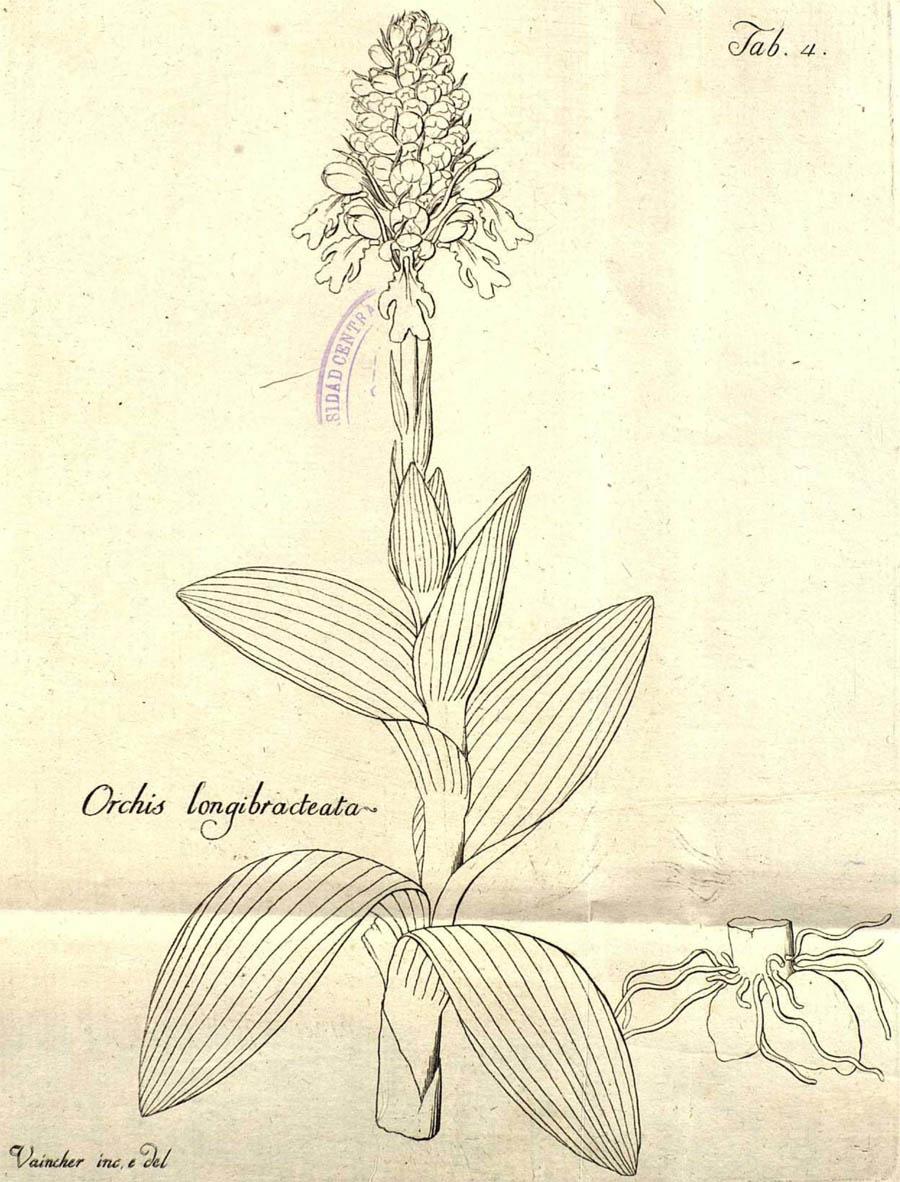 Orchis_longibracteata_4a.jpg