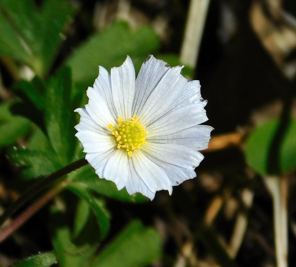 Ветренница нежная Обгрызанный цветок.jpg