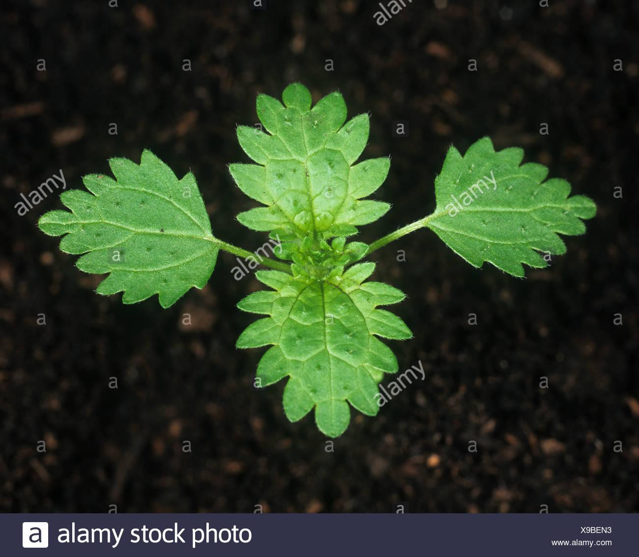 annual-nettle-urtica-urens-seedling-with-four-true-leaves-X9BEN3.jpg