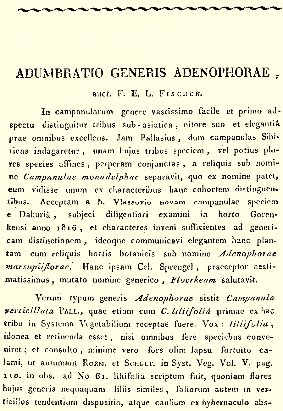 Adenophora_1a.png