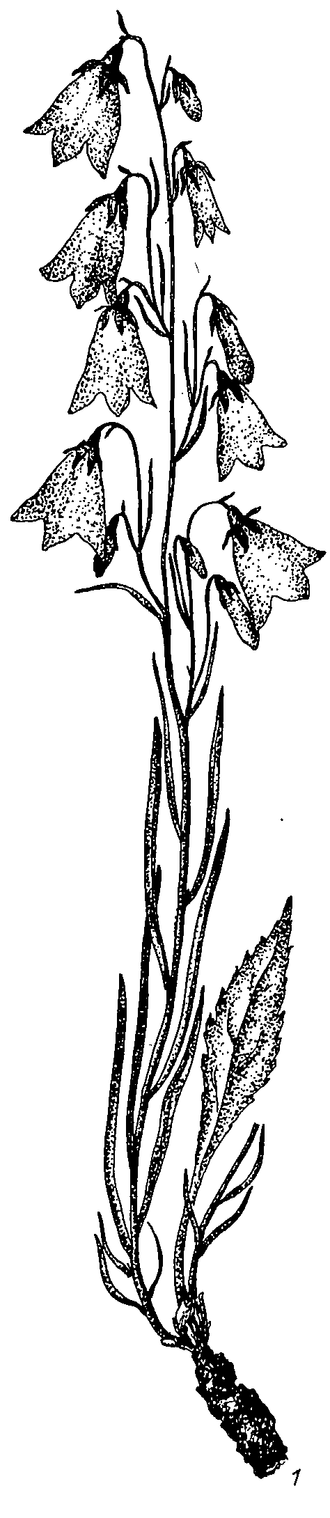 Adenophora_gmelinii_1a.png