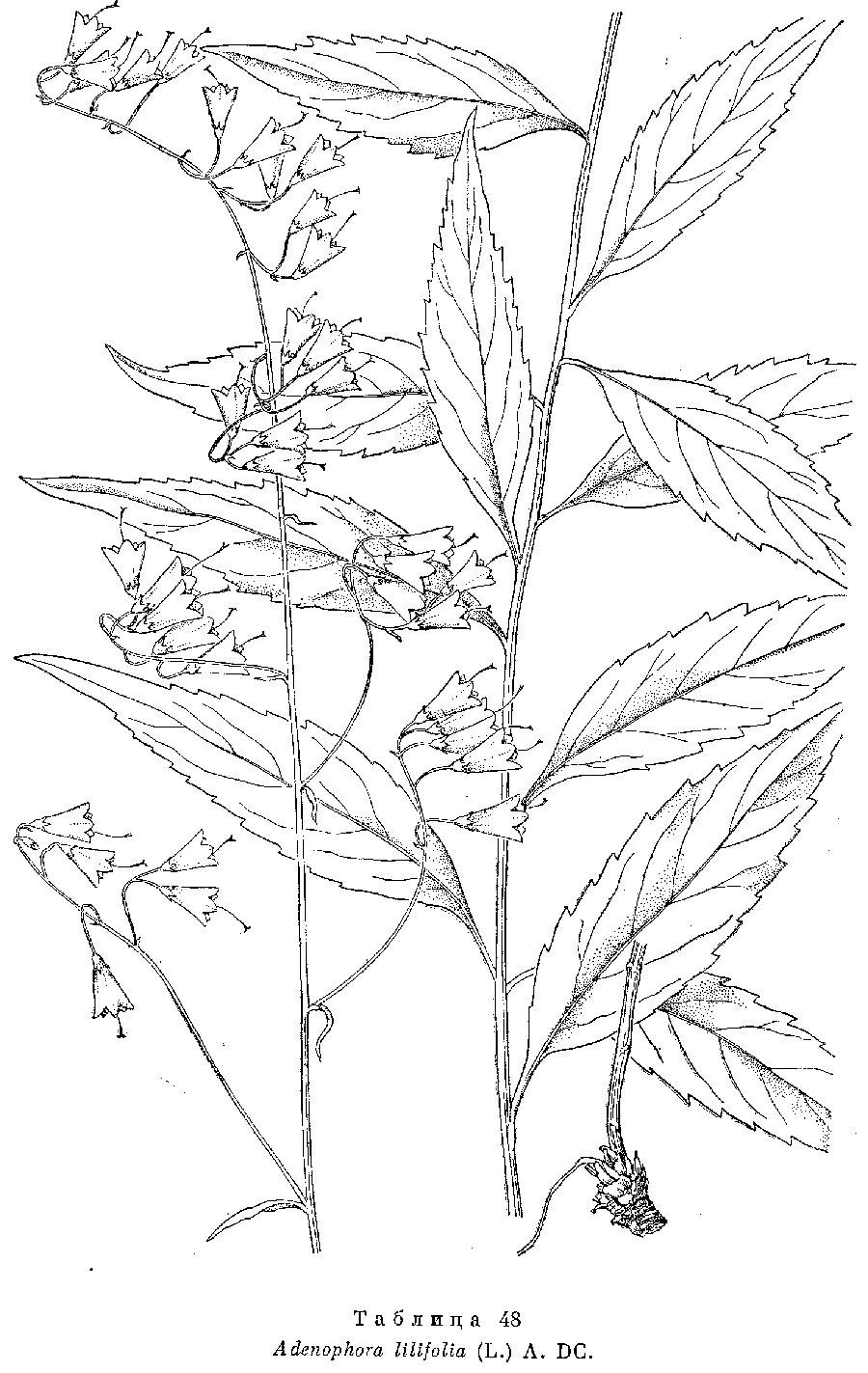 Adenophora_liliifolia_6a.png