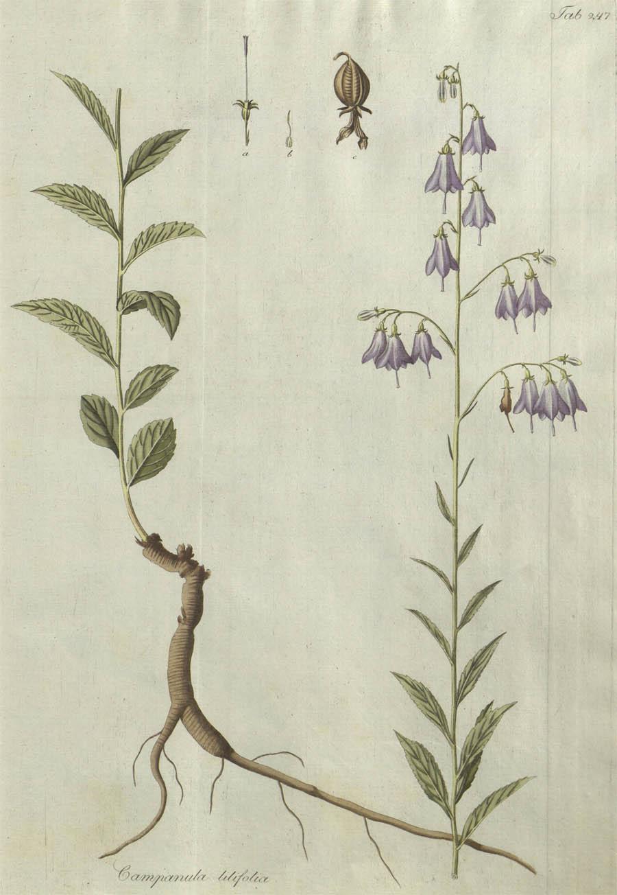 Adenophora_liliifolia_7a.jpg