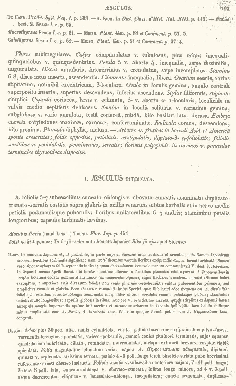 Aesculus_turbinata_2a.png