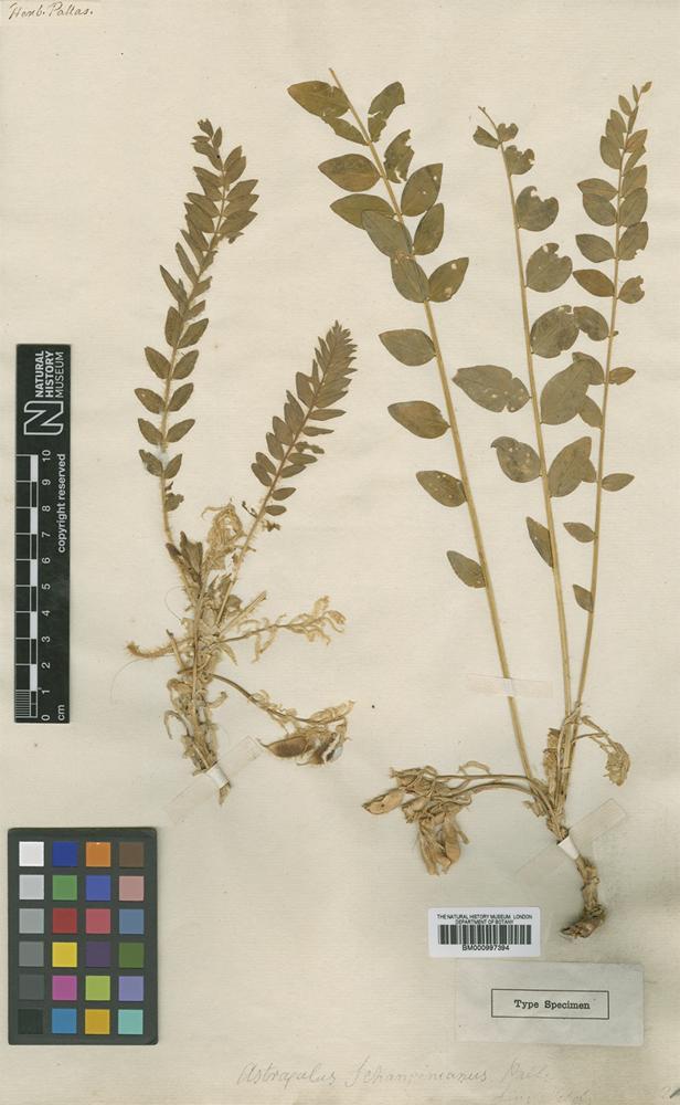 bm000997394-Type of Astragalus schanginianus Pall..jpg