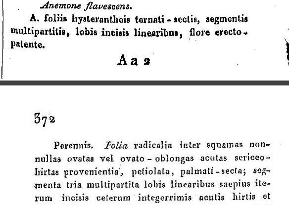 Anemone flavescens Pr1.jpg