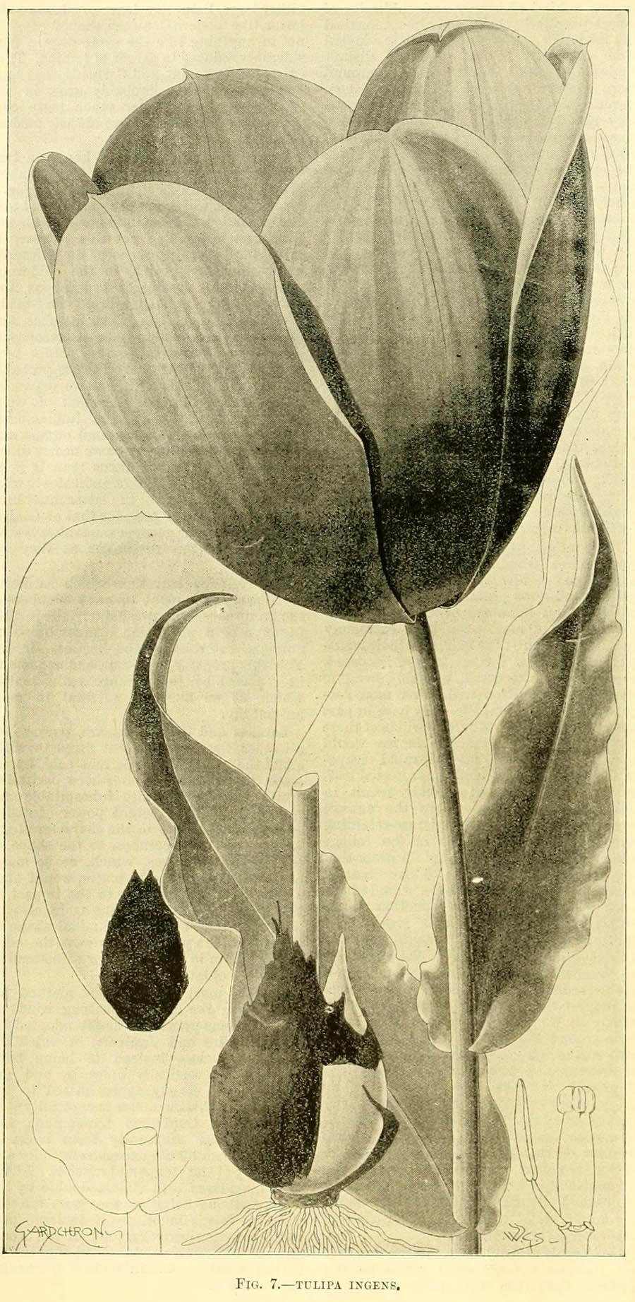 Tulipa_ingens_1c.jpg